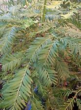 SEQUOIA SEMPERVIRENS, SEMPREVERDE, COAST REDWOOD, 20 SEMI, SEEDS
