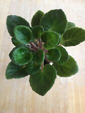 Mac's Love to Laugh African Violet Plant
