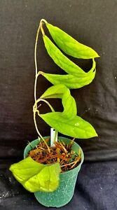 Hoya sp. IML 1029, wax plant