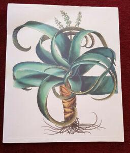 Tavola botanica dell'Hortus Eystettensis ABOCA stampa quadro ALOE