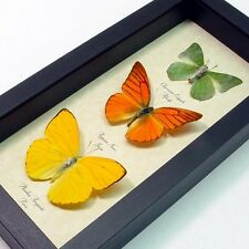 Real Framed Citrus Collection Butterfly 7897