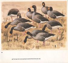 BEAUTIFUL VINTAGE BIRD PRINT ~ GREY LAG GEESE GRAZING ~ TUNNICLIFFE