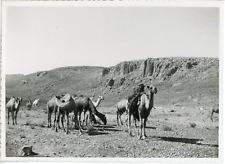 Algérie, Caravane de chameaux  Vintage silver print.  Tirage argentique d&#039