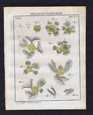 The Spring Book Polyp  - Roesel Insecten-Belustigung 1755 Print