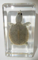 Farmed Softshell Turtle in clear Paperweight Education Animal Specimen