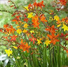 50 x Crocosmia small flowering mix  size 5/6 orange yellow red