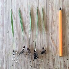Washingtonia filifera seedlings x5