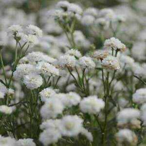 Achillea ptarmica 'Peter Cottontail'- 2 litre pot- Good for bees & butterflies
