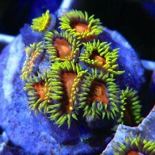 New listing Yellow Brick Road Zoa Paly Palythoa Polyps Frag Rare Live Coral