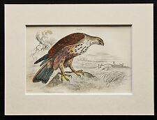 Rough Legged Buzzard - Mounted Antique Bird Family Print 1840s by Jardine
