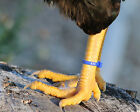 50 BLUE Numbered Poultry Zband Leg Bands ~Fits Chickens, Geese, Ducks