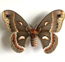 Saturnidae Hyalophora Cecropia Couple USA