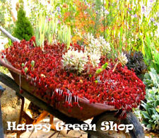 Dragon's Blood plant - 250 seeds - Sedum spurium coccineum - Carpet forming