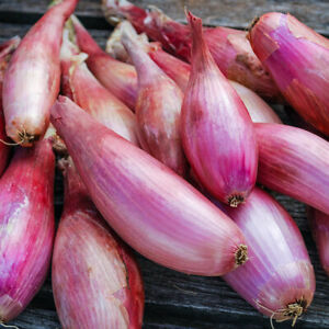 50 Shallot ZEBRUNE Seeds – #1 Chef's Favourite – BEST SELLER – Free Postage
