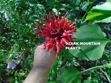 "2 RED Bee Balm Monarda ""Jacob Cline"" Perennial Plants Butterfly Hummingbird"