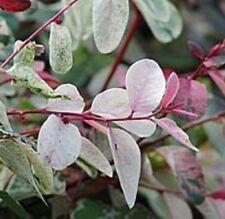 ROSEA Breynia nivosa multicolour foliage ROSY SNOW BUSH plant in 140mm pot