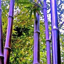 Lila Riesen -Bambus - Dendcalmus Stritus Baum Garten Deko  Winterhart - 5 Samen