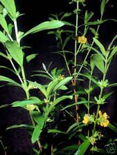 * Sinicuichi * Magische Pflanze der Azteken * 100 Korn * frisch *