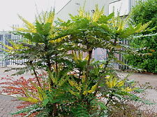 105 x Mahonia - Oregon Grape - 10-20cm