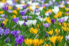 1000 botanische Krokusse Blumenzwiebeln als Mix (ideal für die Wiese)