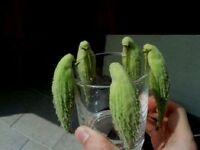 Papageien - Baum Asclepias syriaca winterharter Exot für draußen den Garten Deko