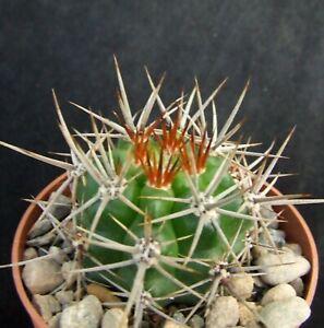 Gymnocalycium Horridispinum 4.2cm strongly-spined collectors Argentine cactus