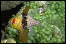 634039 cette Cardinal poissons habite le récifs peu profonds de Palau A4 papier photo