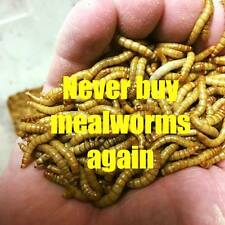 Mealworm Farm starter kit - 2500 mealies - 250 beetles 250 pupa and bedding