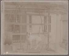 Vintage 1900-1910 Coxsackie New York Smooth Fox Terrier Jack Russell Dog Photo