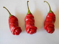 Echter Penis-Chili : Scharf, Gesund, Lecker & dekorativ ! Samen