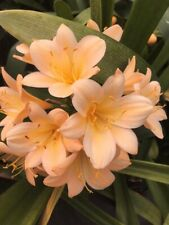 2 x Clivia miniata Apricot seed. UK National Collection Holders
