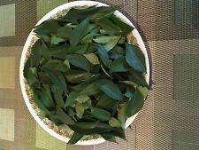 Limdii Patta Indian Curry Leaf odd taille plantes moins Leaf 20-25 cm 1-2 Ltr pot