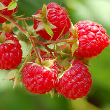 Heritage Red Raspberry Bush Seeds! Sweet! Combined S/H! See Our Store!