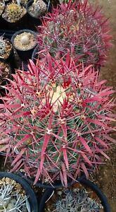 Ferocactus Gracilis * Fire Barrel Cactus * Amazing Red Spines * 10 Rare Seeds *