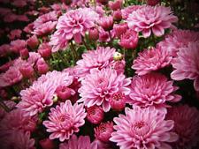 Chrysanthemum Gompie Rose jumbo plug plants x 6 {good for cut flowers}
