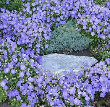 Bellflower Seeds Campanula Canterbury Blue Seeds 500 FLOWER SEEDS