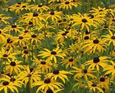 Stunning AUTUMN DISPLAY Rudbeckia Fulgida 'Deamii' (agm) prairie BAREROOT PLANT