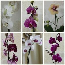 100 Orchid Flower Seed Perennial Beautiful Plant Phalaenopsis Home Garden Bonsai