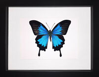 Papilio ulysses Butterfly Frame