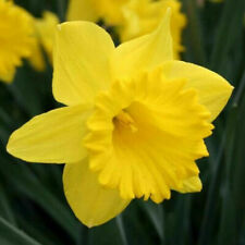 40 Yellow and/or White Daffodil Flower Small Bulbs Gardening Plants Lawn