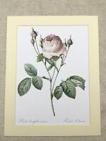 Botanico Stampa Rosa Chiaro Vilmorin Rosa Centifolia Carnea Redoute Rose