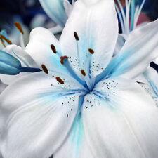 50pcs Lily Stargazer Blue & White Scented Perennial Garden Flower Bulbs Seeds