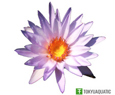 Nymphaea Casey Lee Slocum Tropical Purple Water Lily Tuber Live Pond Plant Yard