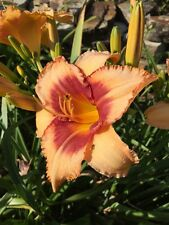 Daylily Wild Pitch hemerocallis Perennial plant baseball series ~ Df or 2 plants
