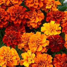 Tagetes/Studentenblume 100 Samen