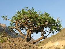 20 Fresh  Indian Frankincense Tree Seeds, Boswellia Serrata Seeds