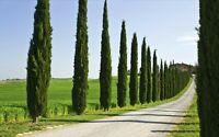 100PCs ITALIAN Cypress Tree Seeds Rare Cupressus Sempervirens Decoration Garden
