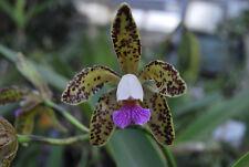 C.guttata coerulea cattleya Orchidee schöne Pflanze Blühstark Floweringsize
