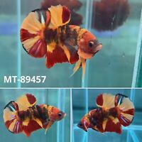 (MT-89457) Candy Tiger Nemo KOI Galaxy Male Plakat HM Betta Fish High Grade A+++