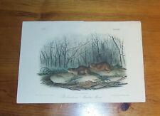 Audubon. Quadrupeds. Octavo. Richardsons Meadow Mouse.